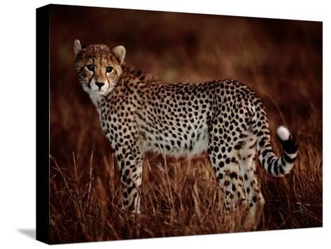 Light Reflects in the Eye of an African Cheetah-Chris Johns-Stretched Canvas Print