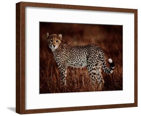 Light Reflects in the Eye of an African Cheetah-Chris Johns-Framed Art Print