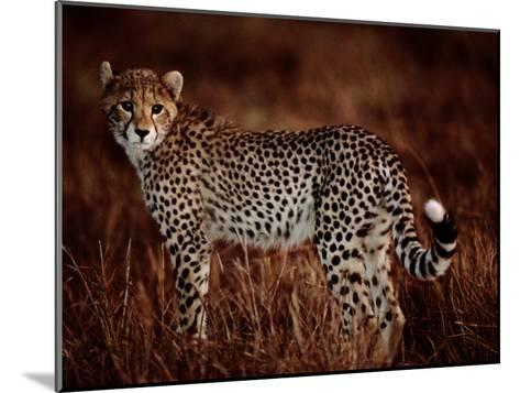 Light Reflects in the Eye of an African Cheetah-Chris Johns-Mounted Photographic Print