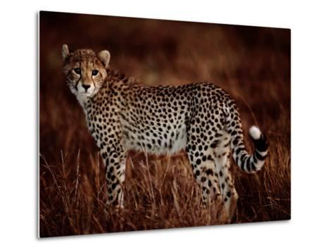 Light Reflects in the Eye of an African Cheetah-Chris Johns-Metal Print