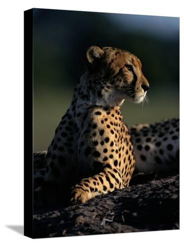 A Portrait of an African Cheetah-Chris Johns-Stretched Canvas Print