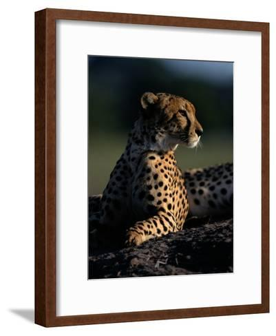 A Portrait of an African Cheetah-Chris Johns-Framed Art Print