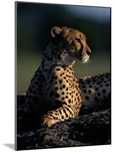 A Portrait of an African Cheetah-Chris Johns-Mounted Photographic Print