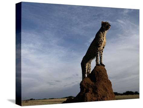 An African Cheetah Guards His Territory from the Top of a Large Termite Mound-Chris Johns-Stretched Canvas Print