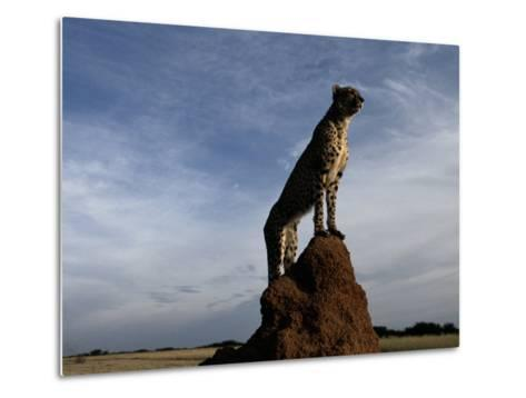 An African Cheetah Guards His Territory from the Top of a Large Termite Mound-Chris Johns-Metal Print