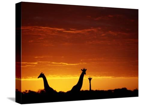 Silhouette of Three Giraffes against an Intense Sunset-Chris Johns-Stretched Canvas Print