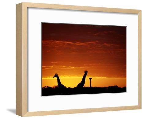Silhouette of Three Giraffes against an Intense Sunset-Chris Johns-Framed Art Print