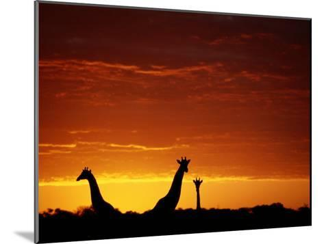 Silhouette of Three Giraffes against an Intense Sunset-Chris Johns-Mounted Photographic Print