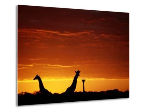Silhouette of Three Giraffes against an Intense Sunset-Chris Johns-Metal Print