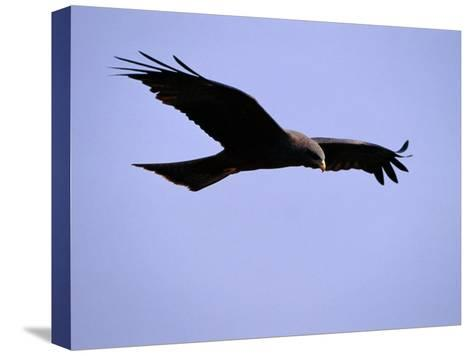 A Portrait of a Flying Hawk-Chris Johns-Stretched Canvas Print