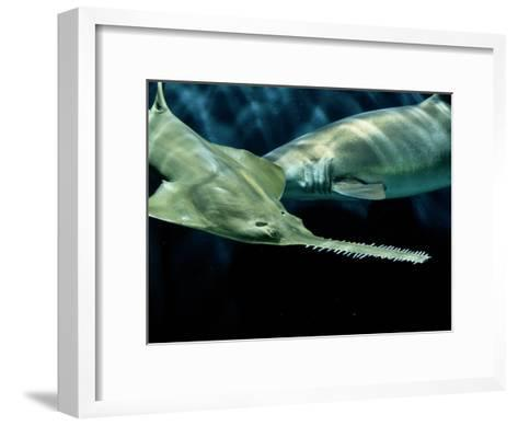 A Sawfish Swims by a Sand Tiger Shark-George Grall-Framed Art Print