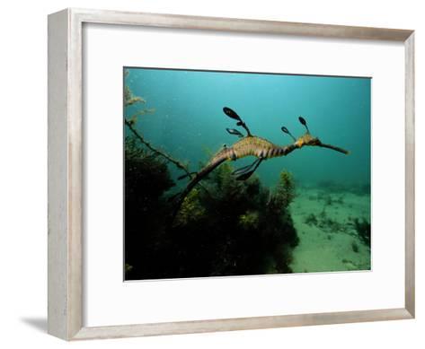 A Weedy Sea Dragon-George Grall-Framed Art Print