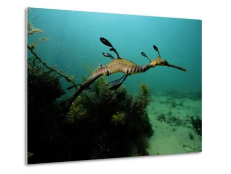 A Weedy Sea Dragon-George Grall-Metal Print