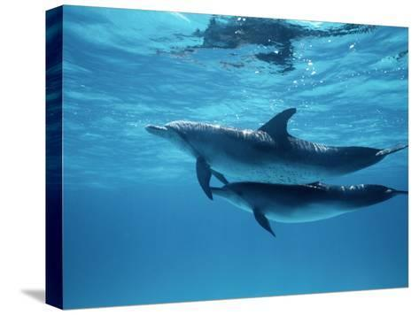 A Pair of Spotted Dolphins-Wolcott Henry-Stretched Canvas Print