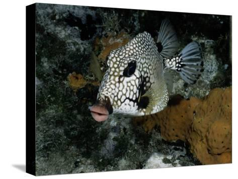 A Smooth Trunkfish Emerges from the Coral-Wolcott Henry-Stretched Canvas Print