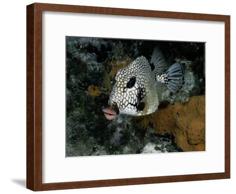 A Smooth Trunkfish Emerges from the Coral-Wolcott Henry-Framed Art Print