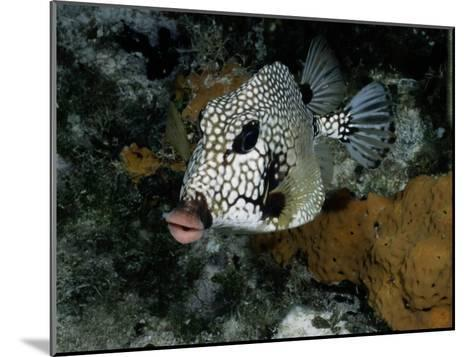 A Smooth Trunkfish Emerges from the Coral-Wolcott Henry-Mounted Photographic Print