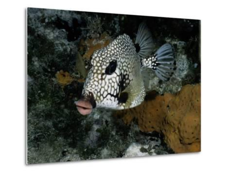 A Smooth Trunkfish Emerges from the Coral-Wolcott Henry-Metal Print
