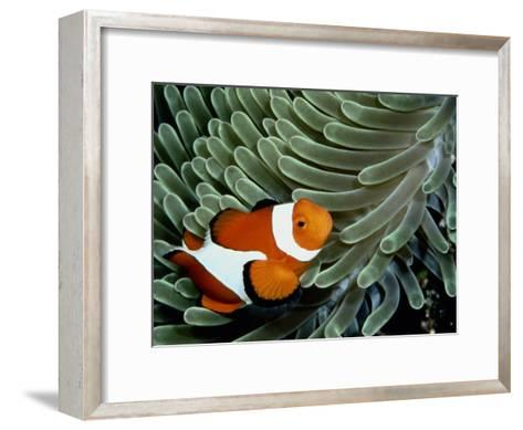A False Clown Anemonefish Swims Through Sea Anemone Tentacles-Wolcott Henry-Framed Art Print