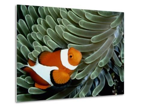 A False Clown Anemonefish Swims Through Sea Anemone Tentacles-Wolcott Henry-Metal Print