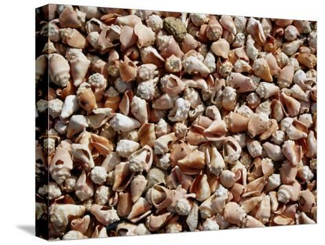 A Sea of Conch Shells Covers the Beach on Margarita Island-Wolcott Henry-Stretched Canvas Print