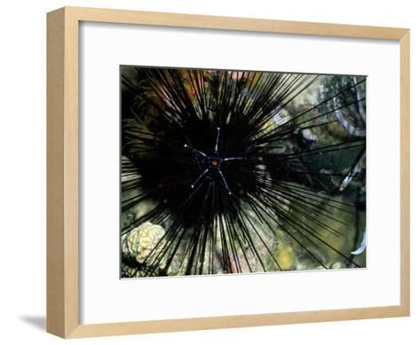 A Black Diadema Sea Urchin-Wolcott Henry-Framed Art Print