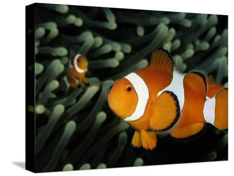 A Pair of False Clown Anemonefish-Wolcott Henry-Stretched Canvas Print
