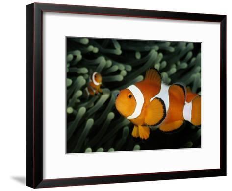 A Pair of False Clown Anemonefish-Wolcott Henry-Framed Art Print