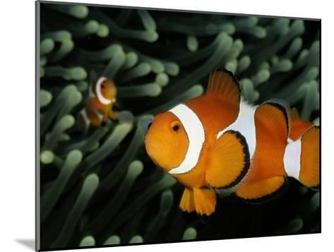 A Pair of False Clown Anemonefish-Wolcott Henry-Mounted Photographic Print