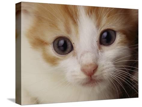 A Close View of a Cat-Michael Nichols-Stretched Canvas Print