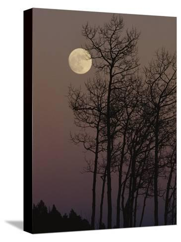 A Cluster of Aspens is Silhouetted against the Evening Sky-George F^ Mobley-Stretched Canvas Print