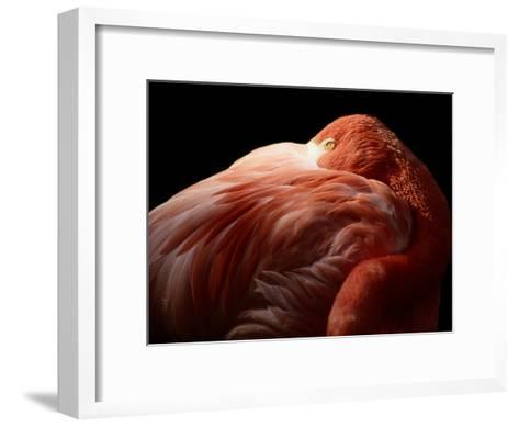 A Greater Flamingo Buries its Head in its Feathers-Tim Laman-Framed Art Print