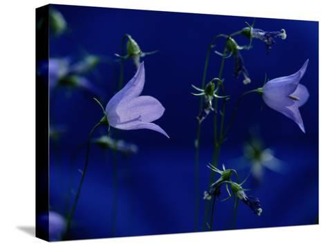 Bluebell Flowers on the Trail to Valley of the Five Lakes-Raymond Gehman-Stretched Canvas Print