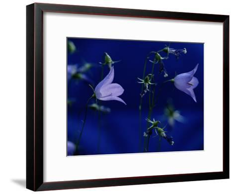 Bluebell Flowers on the Trail to Valley of the Five Lakes-Raymond Gehman-Framed Art Print
