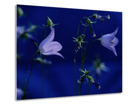 Bluebell Flowers on the Trail to Valley of the Five Lakes-Raymond Gehman-Metal Print