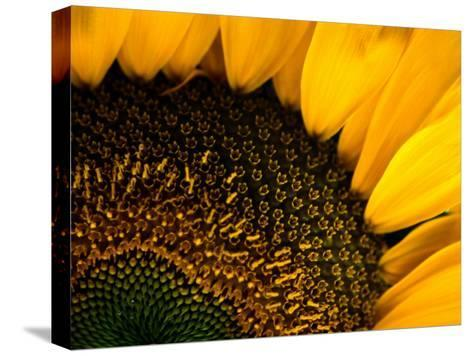 Close-up of a Sunflower-Todd Gipstein-Stretched Canvas Print