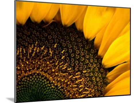 Close-up of a Sunflower-Todd Gipstein-Mounted Photographic Print