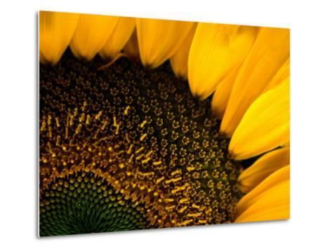 Close-up of a Sunflower-Todd Gipstein-Metal Print