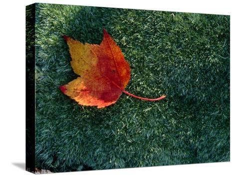 A Maple Leaf Lies on Emerald Moss in Autumn-George F^ Mobley-Stretched Canvas Print