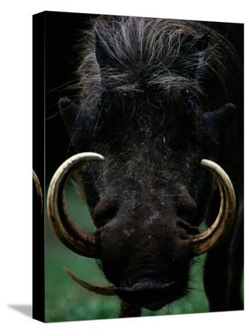 Close-up of a Warthog with an Immense Pair of Tusks-Chris Johns-Stretched Canvas Print