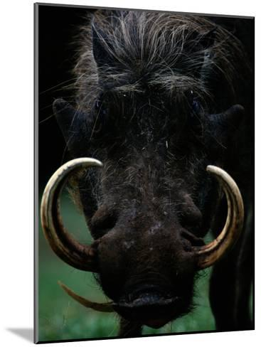 Close-up of a Warthog with an Immense Pair of Tusks-Chris Johns-Mounted Photographic Print