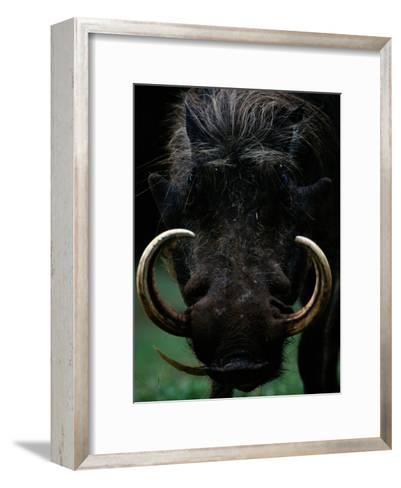 Close-up of a Warthog with an Immense Pair of Tusks-Chris Johns-Framed Art Print