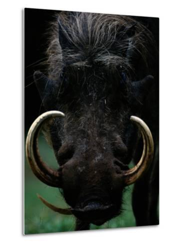 Close-up of a Warthog with an Immense Pair of Tusks-Chris Johns-Metal Print