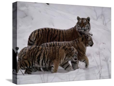 Siberian Tigers (Panthera Tigris Altaica) in the Snow-Michael Nichols-Stretched Canvas Print