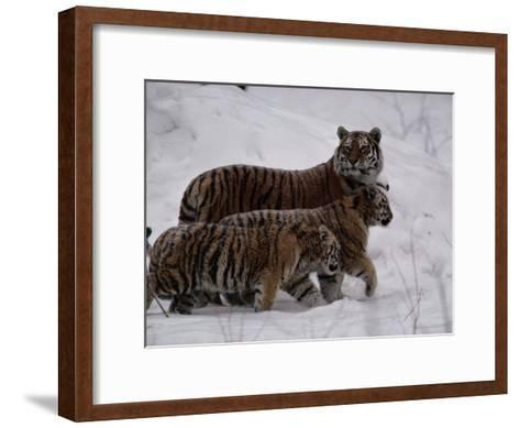 Siberian Tigers (Panthera Tigris Altaica) in the Snow-Michael Nichols-Framed Art Print