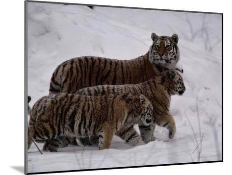 Siberian Tigers (Panthera Tigris Altaica) in the Snow-Michael Nichols-Mounted Photographic Print