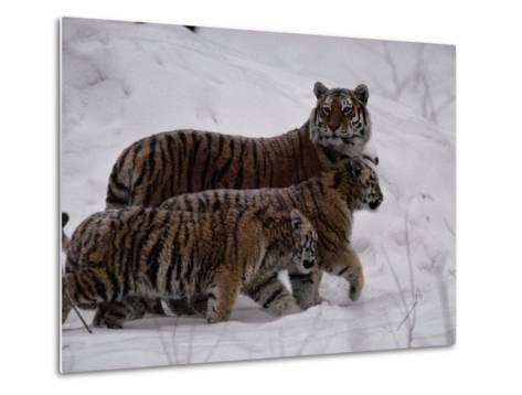 Siberian Tigers (Panthera Tigris Altaica) in the Snow-Michael Nichols-Metal Print