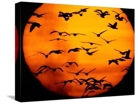 A Flock of Geese is Silhouetted against the Setting Sun-Joel Sartore-Stretched Canvas Print