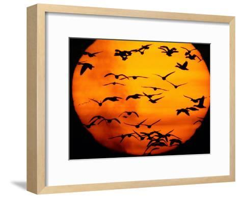 A Flock of Geese is Silhouetted against the Setting Sun-Joel Sartore-Framed Art Print