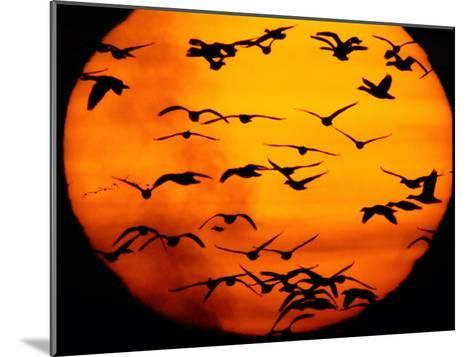 A Flock of Geese is Silhouetted against the Setting Sun-Joel Sartore-Mounted Photographic Print